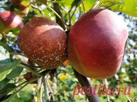 Как сохранить урожай яблок, если они гниют прямо на дереве. Что делать в первую очередь. | Дом цветов | Яндекс Дзен