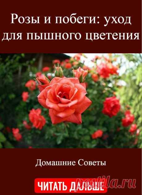 Розы и побеги: уход для пышного цветения