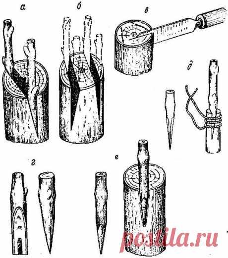 Виноград кишмиш юпитер: описание сорта    ПРИВИВКА ВИНОГРАДА