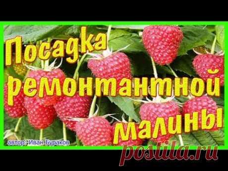 Как посадить ремонтантный сорт малины & Брянское диво, ремонтантный сорт.