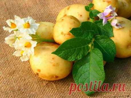 Как хранить картофель на посадку в городской квартире.   Жизнь хорошА!   Яндекс Дзен