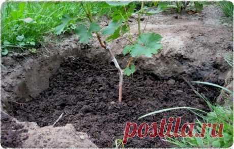 Как правильно посадить виноград весной: выбор места, подготовительные работы и процесс посадки. В средней полосе России посадка весной имеет ряд преимуществ перед посадкой осенью.