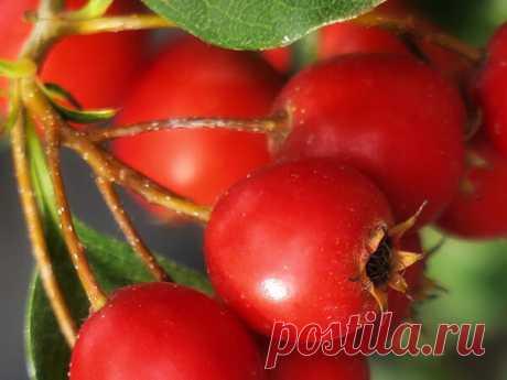 Ягоды для снижения холестерина в крови