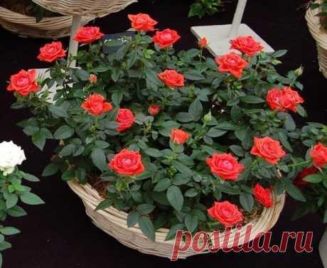 Как вырастить розу из срезанного цветка.