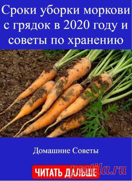 Сроки уборки моркови с грядок в 2020 году и советы по хранению