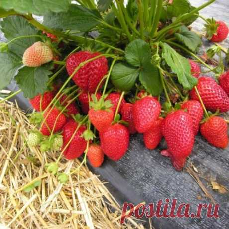 5 secrets of an excellent harvest of wild strawberry