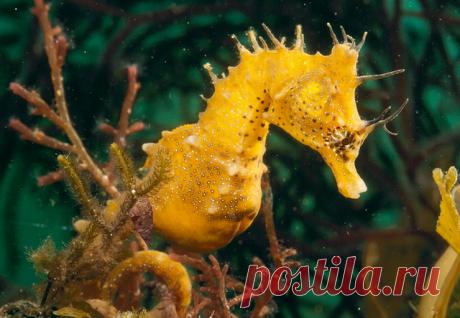 Чудо-рыба: морской конек В морских глубинах живет много необычных и интересных существ, среди которых особого внимания заслуживают морские коньки. Морские коньки, или по-научному