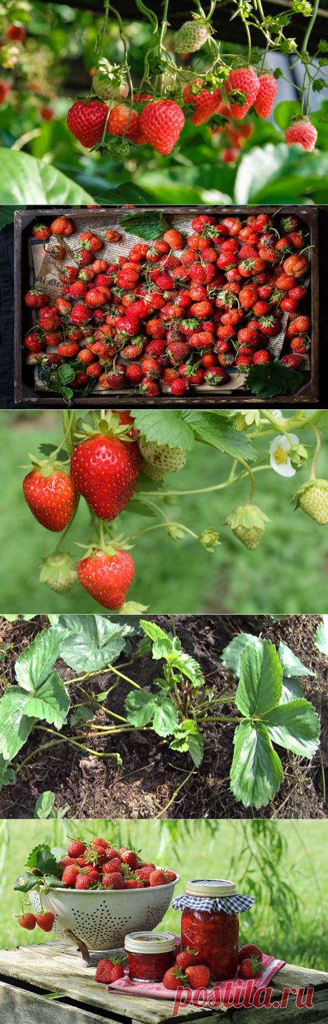 Чем подкормить клубнику после плодоношения и обрезки