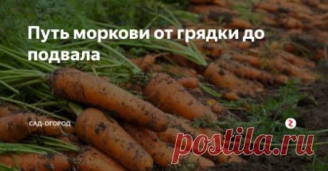 Путь моркови от грядки до подвала Всё, что нужно сделать с морковью для того, чтобы она хорошо хранилась и не портилась.