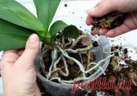 Пошаговая инструкция по пересадке орхидеи фаленопсиса. Мы эту информацию собирали по крупицам, сохраняйте для себя и делитесь с друзьями.