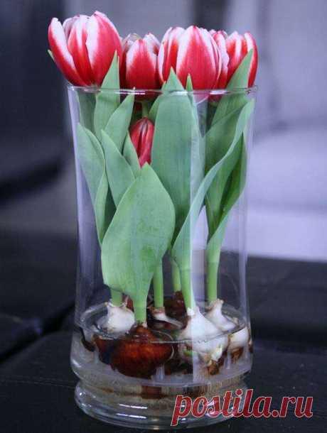 Зимой, когда так скучаешь за весенними запахами и красками, можно вырастить тюльпаны и нарциссы в вазе, в воде без почвы . Милая Я