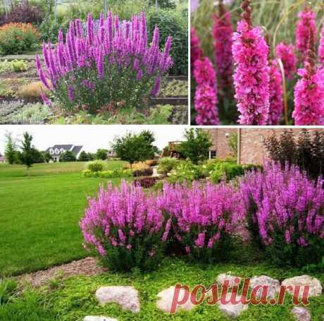 Садовые цветы: Дербенник иволистный Леди Сэквилл
