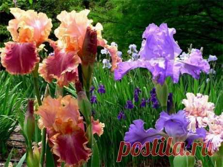 Ирисы: выращивание, уход и размножение — Огород без хлопот