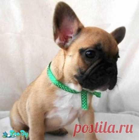 Французский бульдог щенок (девочка) купить в Минске на сайте объявлений