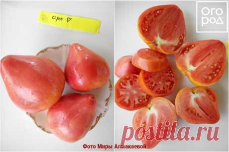 11 лучших сортов томатов для теплицы и открытого грунта – рейтинг от наших читателей | На грядке (Огород.ru)
