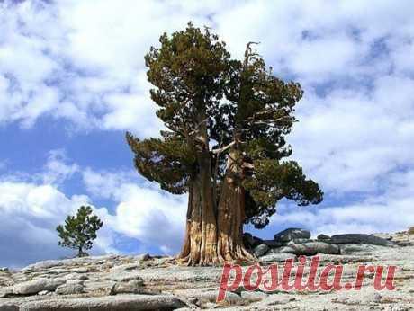 Сколько лет живут деревья - ПолонСил.ру - социальная сеть здоровья - медиаплатформа МирТесен