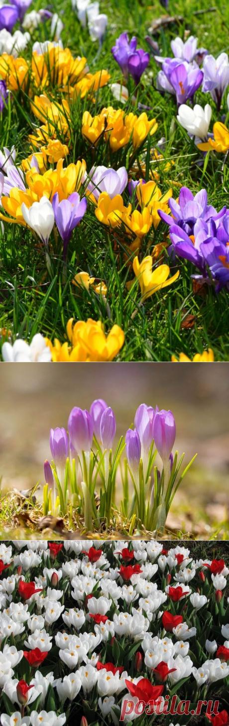 Crocuses (50 photos of flowers): landing, leaving, reproduction - HappyModern.RU