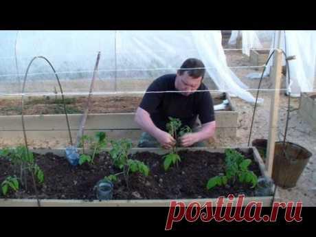 Когда и как высаживать томаты в открытый грунт - YouTube