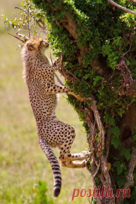 «Лазают по деревьям только молодые гепарды, потому что с возрастом когти притупляются», – рассказывает автор фотографии Александр Перов: nat-geo.ru/photo/user/114867/