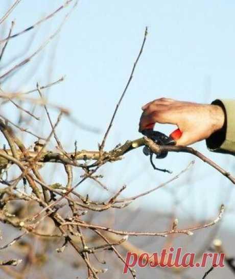 Как омолодить старую яблонюосенью и в другие сезоны: инструкция Как омолодить старую яблонюосенью и в другие сезоны: полная инструкция. Узнайте, по каким схемам проводится омолаживающая обрезка старых яблонь