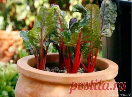 Посадите на даче мангольд и готовьте из него полезные блюда.