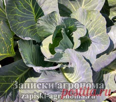 В статье рассказывается какие виды капустных культур существует, о вегетационных периодах, а также в статье есть фото разных видов капусты.
