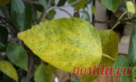 Желтеют листья у Гибискуса — основные причины и решение проблемы