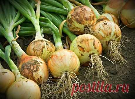 Чем подкормить лук в июле что бы урожай был крупным и вкусным.  Наверное нет такой дачи или огорода что бы там не рос лук репка, а что бы собрать отличный качественный урожай его нужно подкормить.  Лук полезный овощ но без подкормок и нужных удобрений он будет мелкий, перья слабые, и конечно он по вкусу будет не очень.  Не мало важную роль играет посадочный материал, но все же если правильно ухаживать и подкармливать можно вырастить хороший лук, с отличной лежкостью. Лук о...