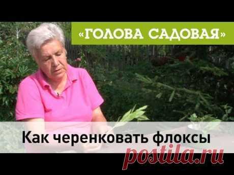 Голова садовая - Как черенковать флоксы