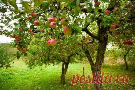 Занимаемся осенней подкормкой. Когда и как подкармливать фруктовый сад?