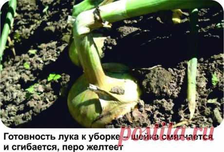 КОГДА НАДО УБИРАТЬ РЕПЧАТЫЙ ЛУК «Если испечь луковицу прежде, чем лук собран с огорода, то весь лук высохнет», – говорится в русской пословице. И в самом деле: если убрать слишком рано – лук не будет храниться и быстро заболеет, загниет; поздно – лук пустит корни и будет сохнуть. Сроки уборки лука зависят от сорта, размера семенного материала, погодных условий, сроков посадки, ухода за растениями (полив, подкормки) и того, когда луковица перестает наращивать новые перья. К...