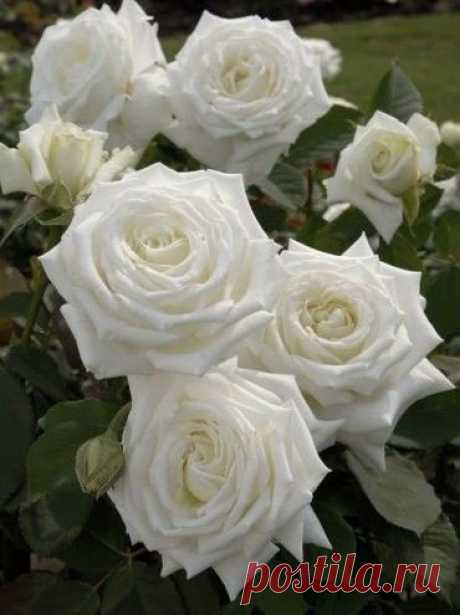 Белая красота!