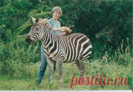 Почему зебра полосатая? | Наука и жизнь
