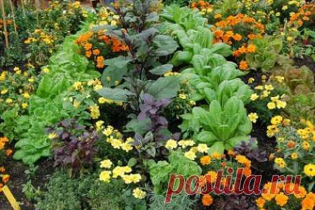Ароматные растения смешанных посадок