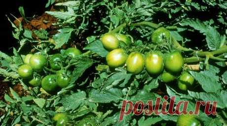 Защита томатов открытого грунта | «Сингента» в России