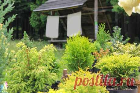 Посадка хвойных растений: 4 распространенных ошибок