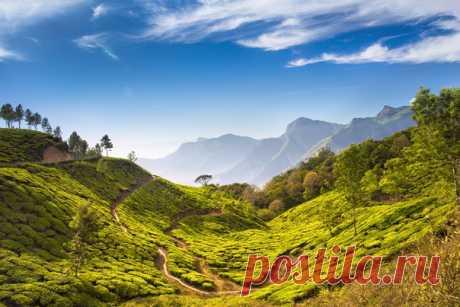 Чайные плантации Муннара. Керала, Индия.