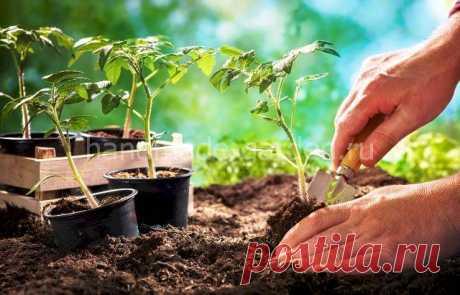 Высадка рассады помидор в открытый грунт в июне 2021 года