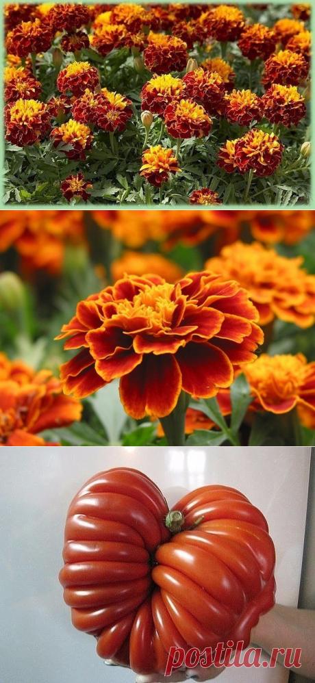 ПОЛЕЗНЫЕ СОВЕТЫ :   А вызнали, что бархатцы - лекарственные растения?