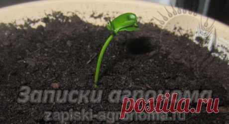 Как вырастить мандарин из косточки • zapiski-agronoma.ru