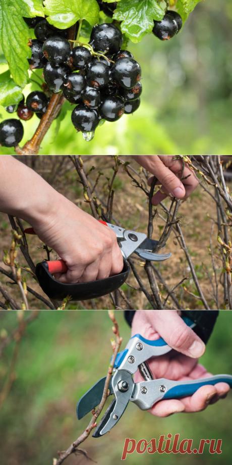 Омоложение черной смородины: что сделать для обильного урожая | Идеальный огород | Яндекс Дзен