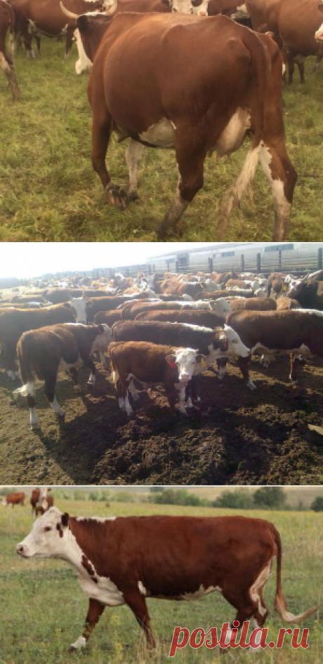 Казахская белоголовая порода коров - БиоКорова