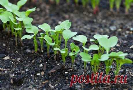 Чем подкормить редиску для быстрого роста | 6 соток
