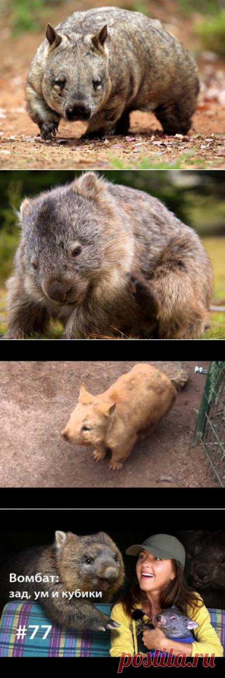 Смотреть изображения вомбатов | Зооляндия