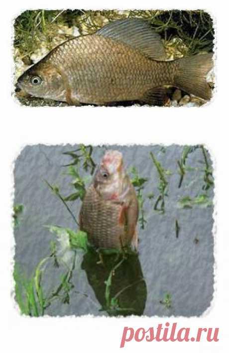 Карась - народная рыба! Секреты ловли карасей. | SilverPike.ru