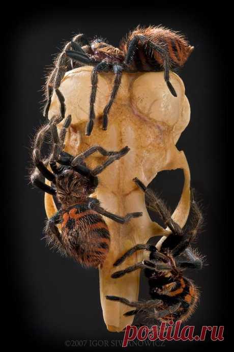 Chromatopelma cynopubescens ...: Фото Фотограф Игорь Siwanowicz - photo.net