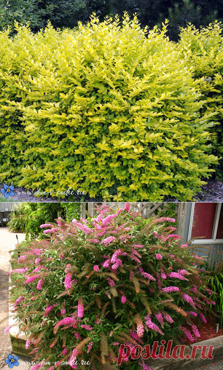 The best bushes blossoming all summer winter-hardy for a site. | Private House