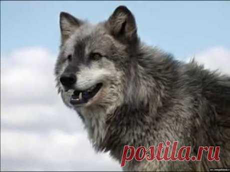 Александр Добронравов - Одинокая волчица.