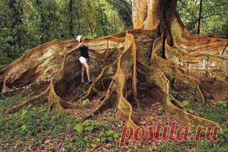 Дерево с ленточными корнями