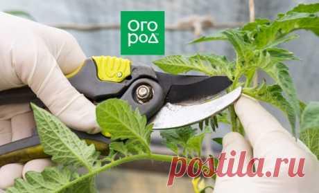 Когда прищипывать верхушки томатов в теплице и открытом грунте | На грядке (Огород.ru)